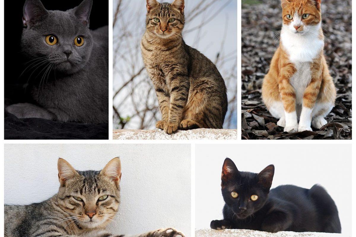 Comment reconnaître la race d'un chat